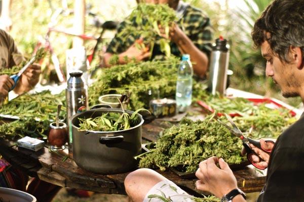 Dia de colheita: haja seda pra tanto banza...